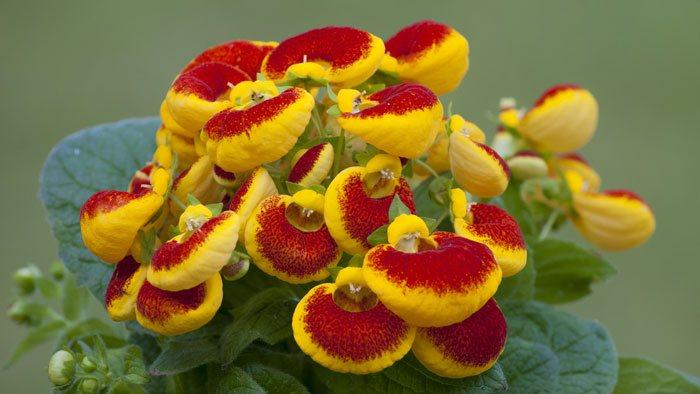 Calceolaria herbeohybrida