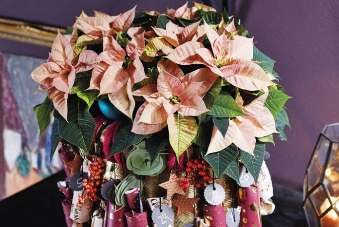 Calendario de Adviento con flores de poinsettia
