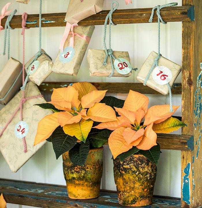 Calendario de Adviento con flores de poinsettia con regalos anudados