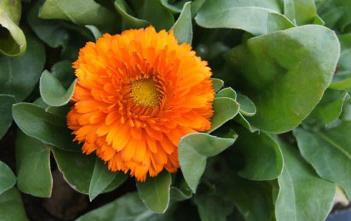 Flores de Calendula officinalis naranja