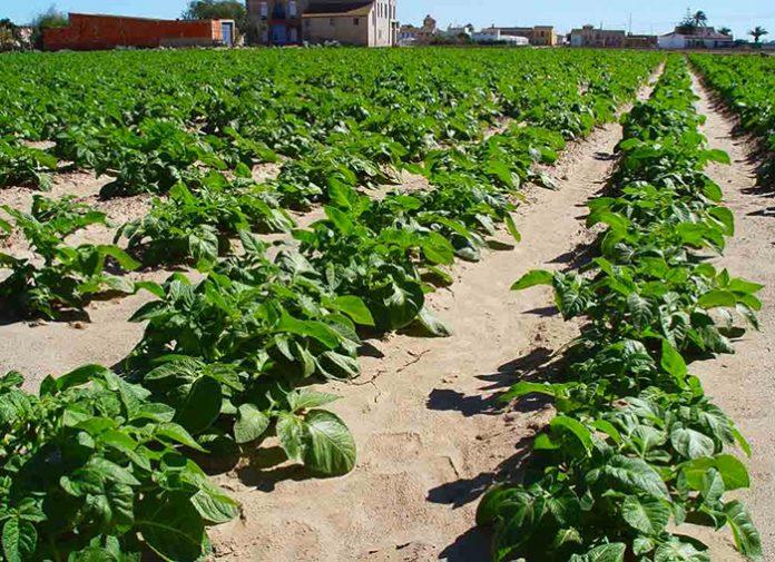 campo cultivo patatas