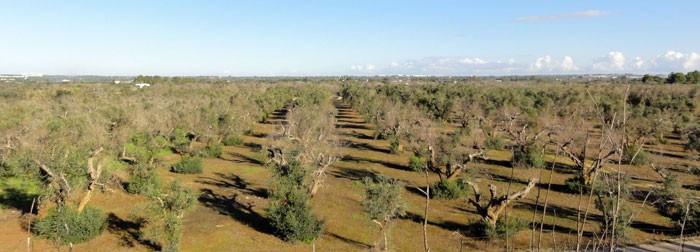 Campo de olivos afectados por la Xylella fastidiosa