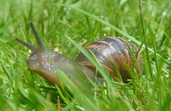 Control de caracoles en el jard n for Caracol de jardin alimentacion