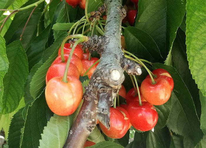 Humato potásico como bioestimulante agrícola