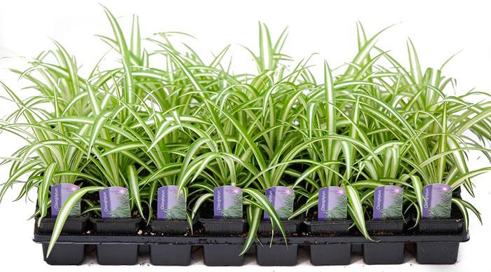 Plantel de Chlorophytum comosum