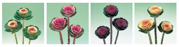 Coles ornamentales