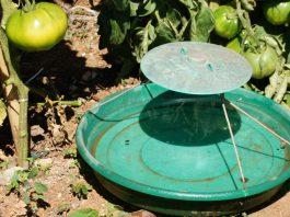 Control de la Tuta absoluta en tomateras