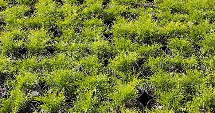 Cultivo de la Acacia cognata