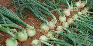 Plantas de cebollas