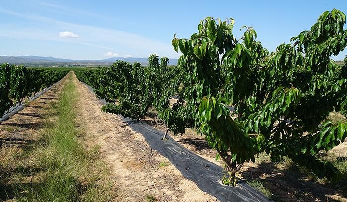Cultivo de cerezos