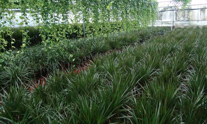 Cultivo de la drácena marginata