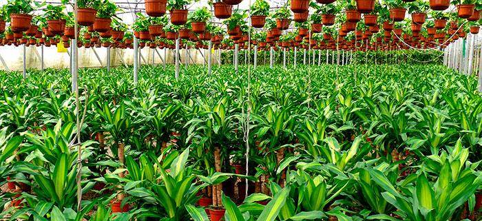Cultivo de Drácenas en invernadero