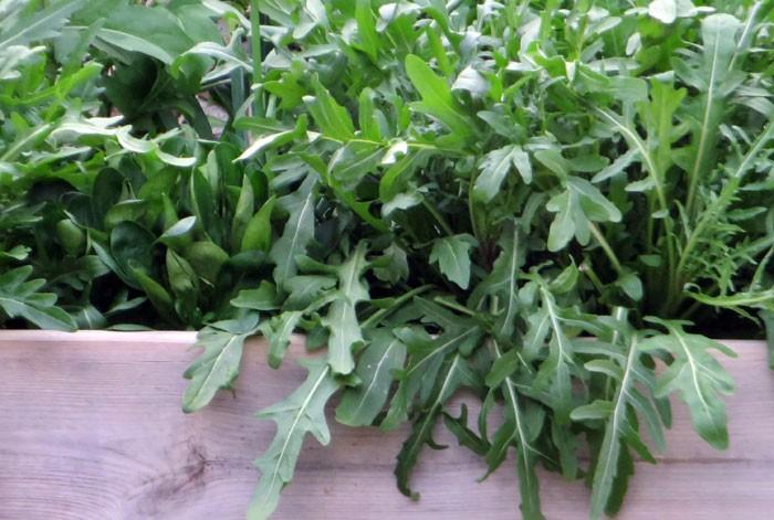 Cultivo de la rúcula