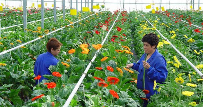 cultivo de flores de gerberas