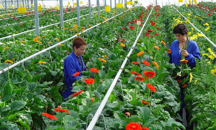 Cultivo de gerberas
