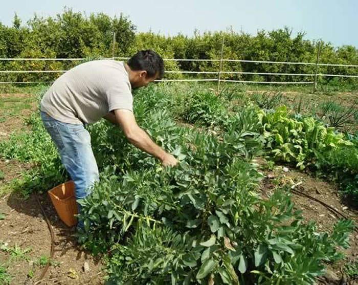 cultivando habas