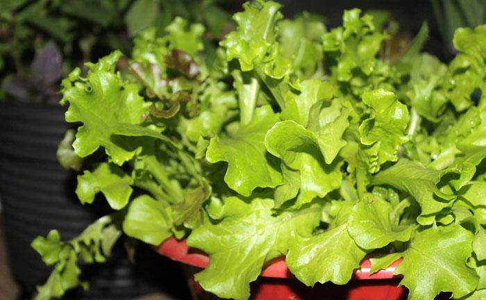 Cómo cultivar lechugas en casa