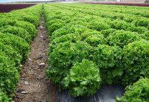 Cultivo de lechugas en Murcia