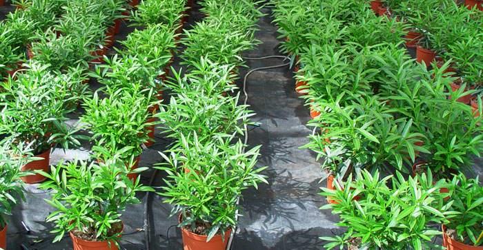 Cultivo del Nerium oleander