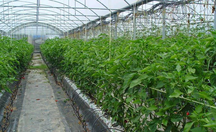 Cultivo de pimientos en hidroponía