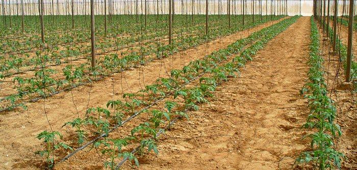 Cultivo de tomate en enarenado