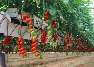 Cultivo de tomate en hidropónico