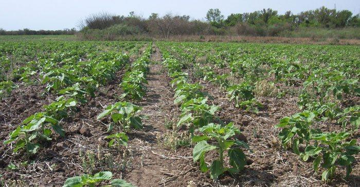 Cultivo del girasol