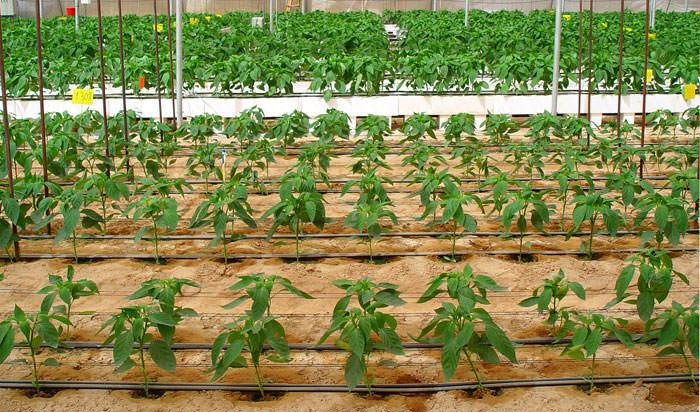 cultivo hidropónico enarenado