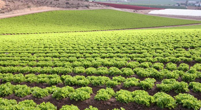 Cultivo de lechuga en Almería