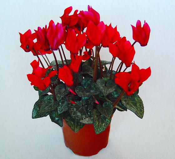 Flor de Cyclamen mini rosa