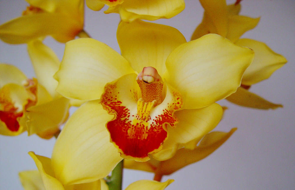 cymbidium amarillo 4