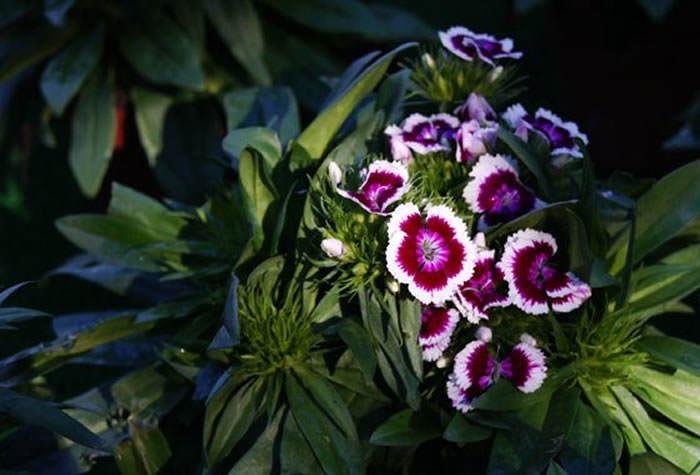 dianthus barbatus clavel poeta