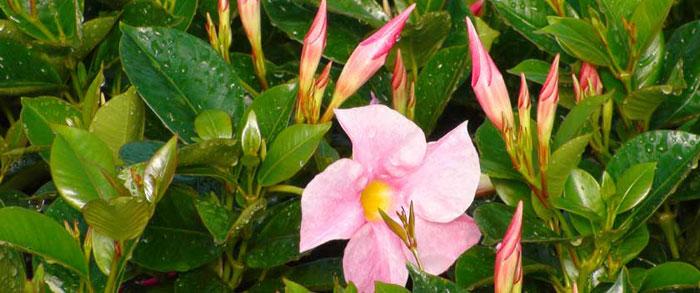 Planta de Dipladenia rosa