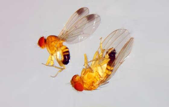 Drosophila suzukii, la mosca asiática