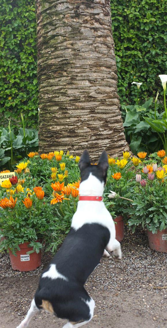 Xeta, el perro ratonero valenciano (Gos Rater Valencià)