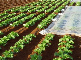 Ensayo de fertilizantes en hortícolas