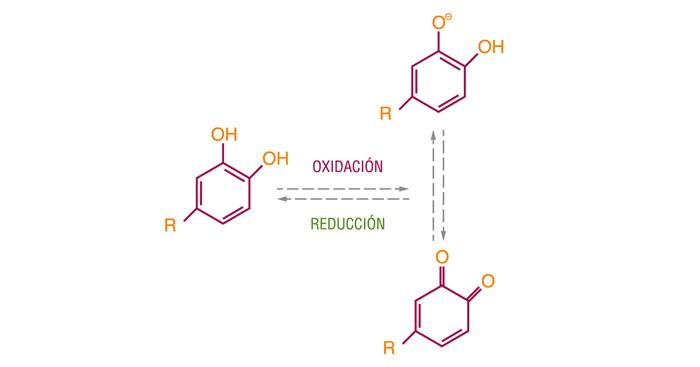 Equilibrio redox producido en los compuestos fenólicos