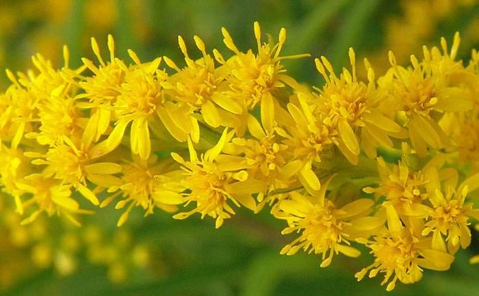 Flor de Solidago