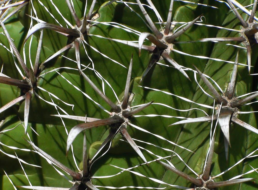 espinas cactus 2