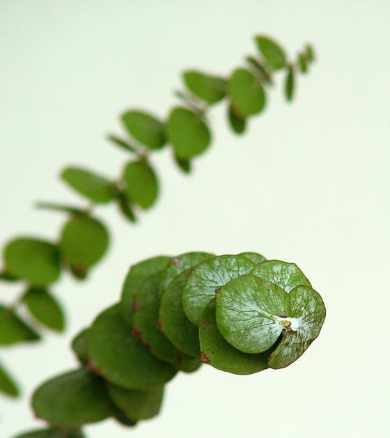 Eucalyptus cinérea
