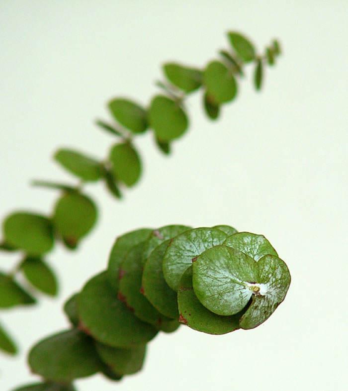 eucaliptus cinerea