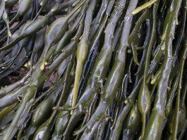 Extractos de algas en la agricultura