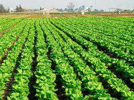 Fertilizantes para lechugas