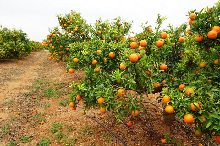 Fertilizantes para naranjos