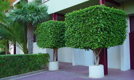 Plantas de ficus benjamina en el jard n - Arboles decorativos jardin ...