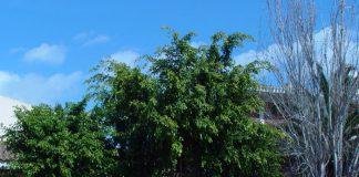 Ficus benjamina en el jardín