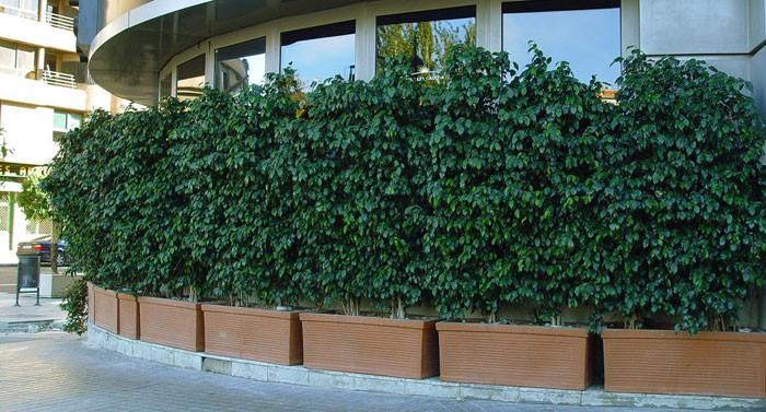 Ficus benjamina en la ciudad