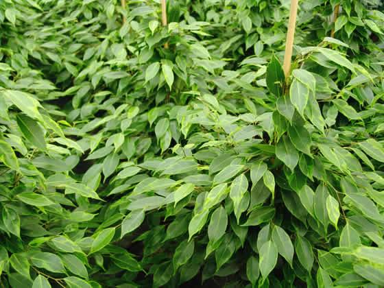 El Ficus benjamina es una excelente planta para purificar el aire