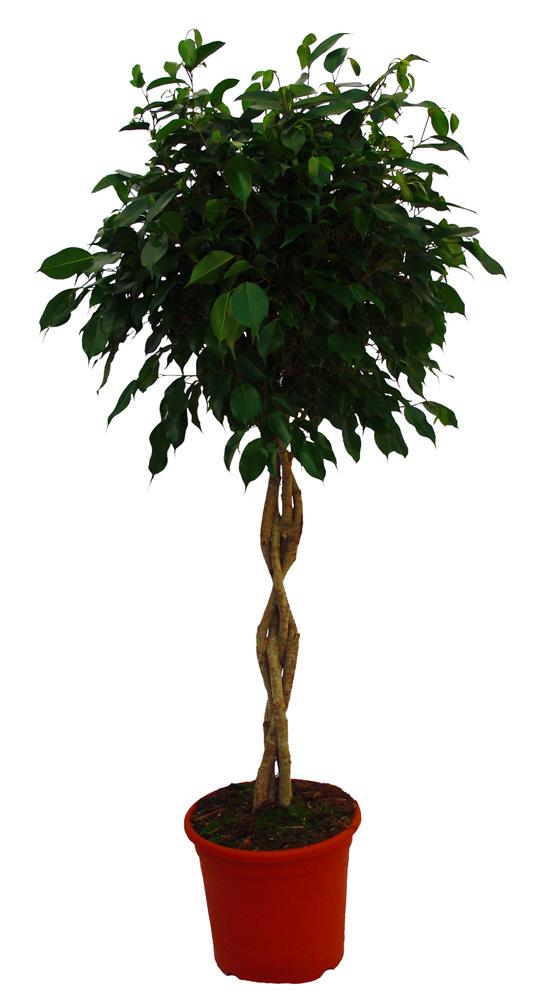 Ficus benjamina trenzado