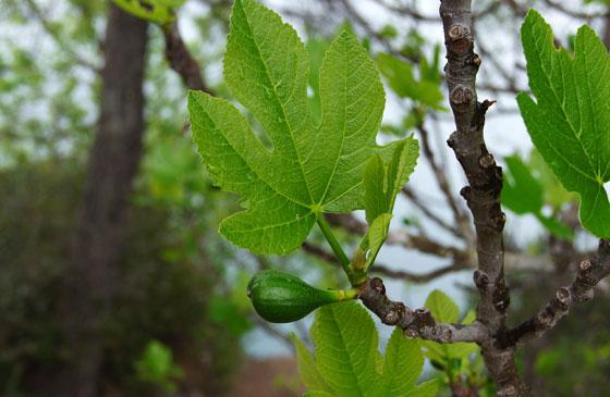 Ficus carica o higuera común